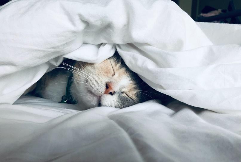 cat that sleeps in blanket
